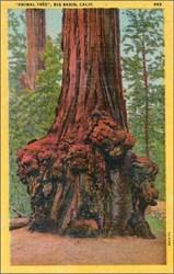 """Animal Tree"", Big Basin, Calif. Postcard"