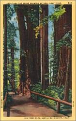 Big Trees Park, Santa Cruz County, Calif. Postcard