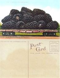 Giant Blackberries Postcard from 1910