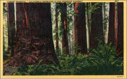 """Forest Primeval"", California Redwoods Postcard"