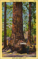 """General Fremont"", Big Trees Park Santa Cruz County Calif. Postcard"