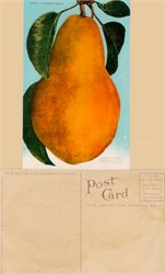 Giant Bartlett Pear Postcard