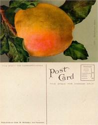 Giant Belleflower Apple Postcard