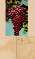Giant California Grapes Postcard