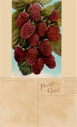Giant Loganberries Postcard