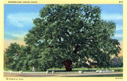 Hooker Oak, Chico, California Postcard