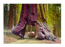 Jumbo Postcard of the Wawona Tunnel Tree, Yosemite National Park, California