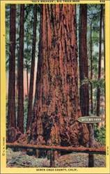 """Neck Breaker"", Big Trees Park, Santa Cruz County, Calif. Postcard"