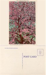 Postcard of Apple Blossoms
