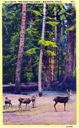 A Wild Buck and Doe, Santa Cruz Mountains Postcard