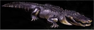 Alligator Prop