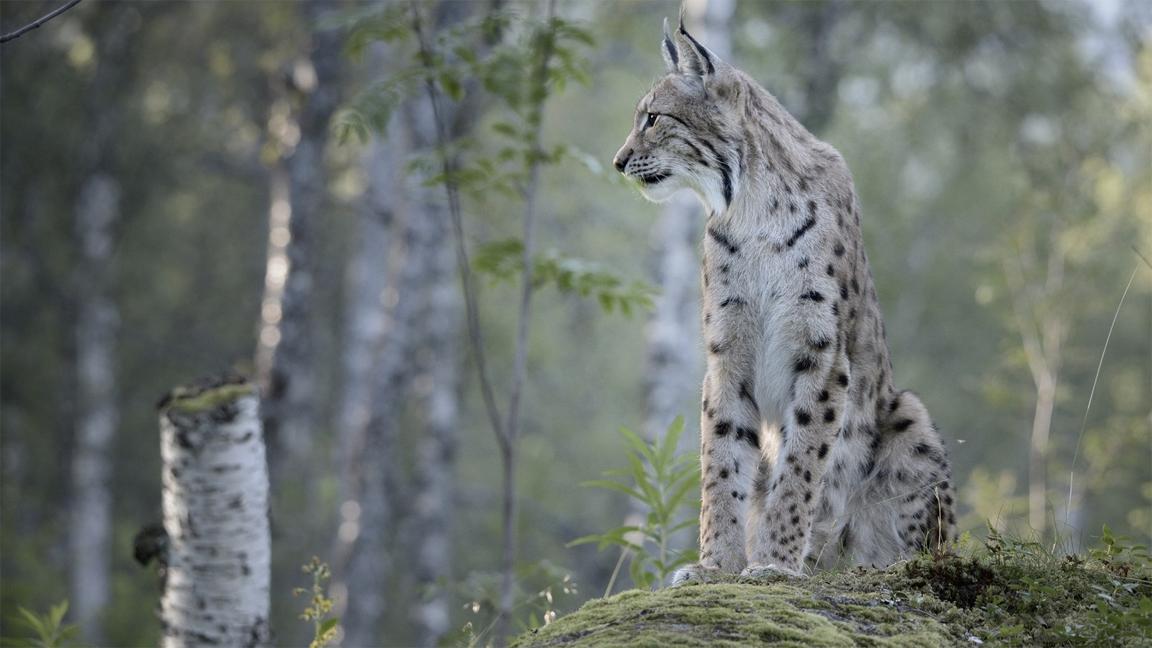 wildlife-cat