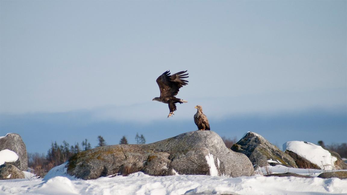 wildlife-eagle