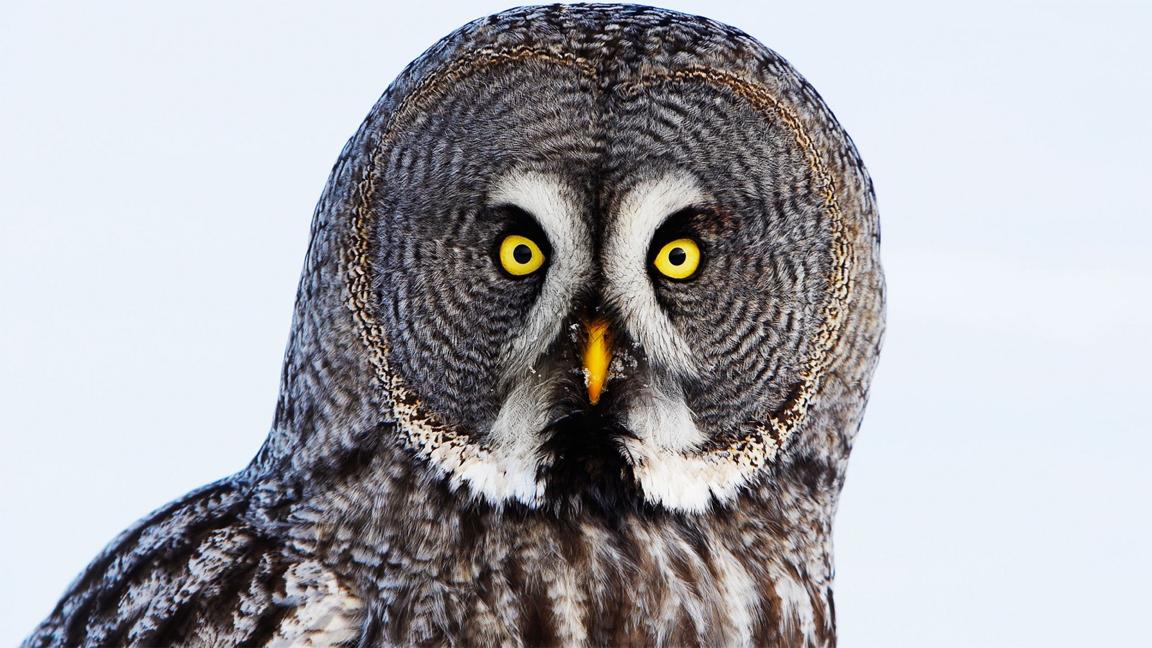 wildlife-owl
