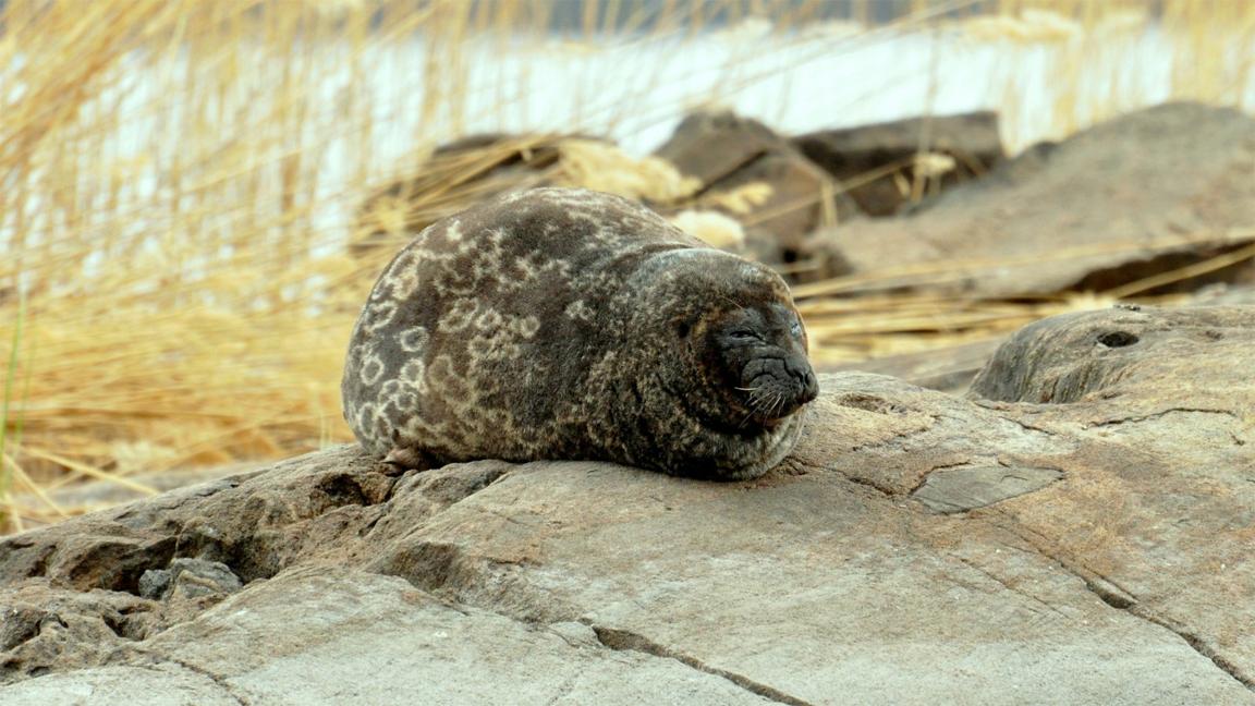 wildlife-seal