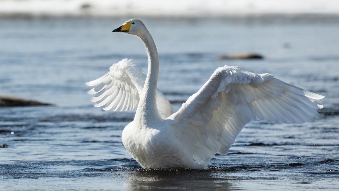 wildlife-swan
