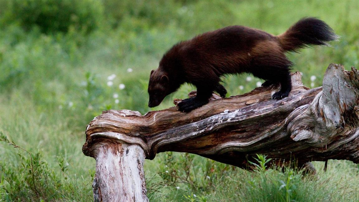 wildlife-wolverine