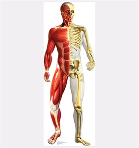 Anatomy Half Muscle Half Skeleton Cardboard Cutout