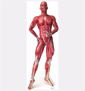 Anatomy Muscle System Cardboard Cutout